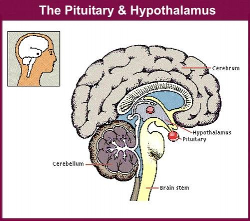what controls the anterior pituitary gland? - blurtit, Human Body